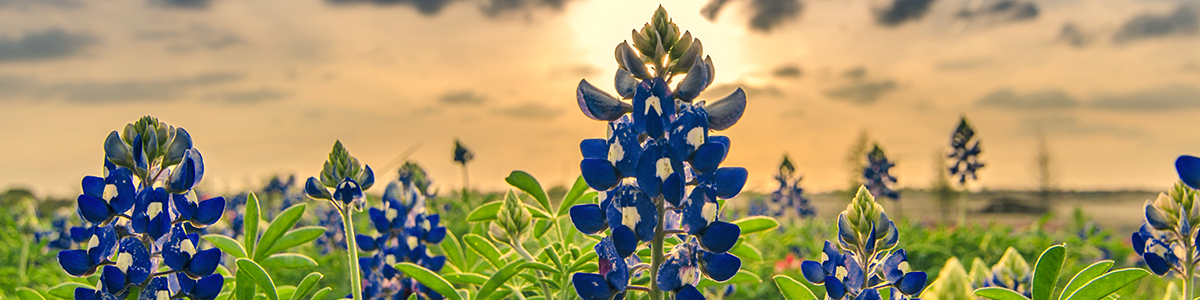 Bluebonnets in a field at sunset.