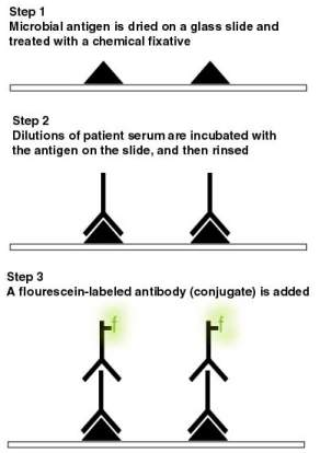 Indirect Fluorescent Antibody Test steps on a glass slide