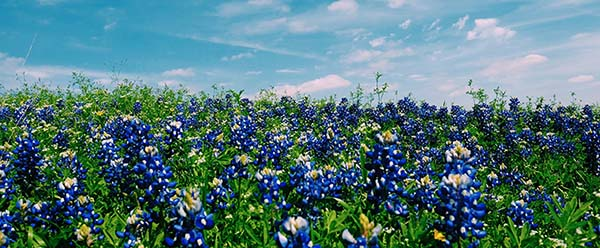 Cancer Texas bluebonnets